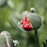 En borning av en röd poppie Arkivbilder