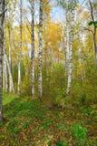 En bosque del abedul del otoño Fotos de archivo