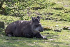 En brasiliansk tapir kopplar av i skuggan av ett träd på en solig dag arkivbilder