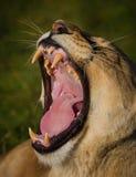En bred gäspning från en lioness Arkivfoto
