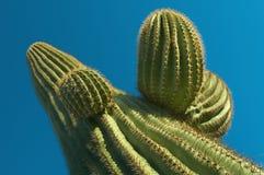 En bred vinkelsikt som upp ser en Saguarokaktus royaltyfria bilder