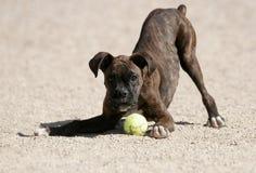 En brindle boxare som leker med en boll Arkivbild