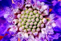 En bristning av lilor från en härlig blomma fotografering för bildbyråer