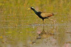 En bronze - jacana à ailes, banswara d'oiseau, Ràjasthàn, Inde images libres de droits