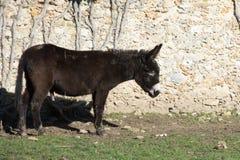 En brun åsna Royaltyfri Fotografi