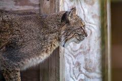 En brun bestruken Bobcat i Jacksonville, Florida arkivfoton