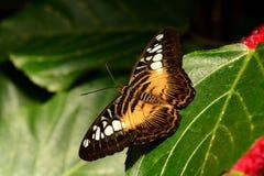 En brun Clipperfjärilsstående Royaltyfri Fotografi