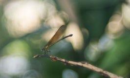 En brun damselfly med bubblig bakgrund arkivfoton