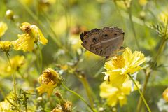 En brun fjäril dricker nektar från en gul kosmosblomma royaltyfri bild