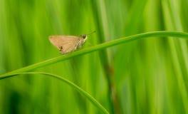 En brun fjäril för sachem på gröna ogräs arkivbilder