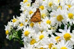 En brun fjäril på den vita krysantemumet Arkivfoto