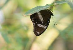 En brun fjäril som döljer under casavabladet royaltyfria bilder