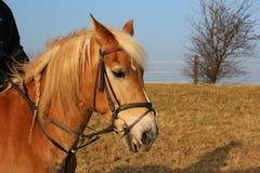 En brun häst Royaltyfri Fotografi