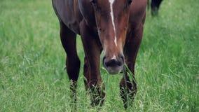En brun häst betar i en äng och äter grönt gräs stock video