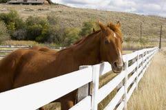 En brun häst ser över ett vitt fållastaket Royaltyfria Bilder