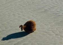 En brun hav-svamp på tvättat upp på sanden Arkivbilder