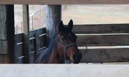En brun hingsthäst plirar ut ur hans stall Arkivfoton