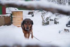 En brun hund bevakar dess hem ser ramen royaltyfri foto