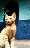 En brun katt med remsor och blå bakgrund arkivbild