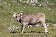 En brun ko Arkivfoton