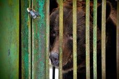 En brun ledsen björn i buren Arkivfoton