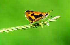 En brun mycket liten fjäril på Bermuda gräs fotografering för bildbyråer