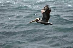 En brun pelikan är flyget över det mörka turkoshavet royaltyfria foton