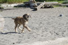 En brun valp släntrar till och med sanden på stranden Arkivfoto