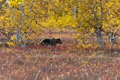 En brunbjörn i höstängen fotografering för bildbyråer
