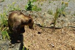 En brunbjörn med en skinande päls söker efter ett bekvämt ställe arkivfoto