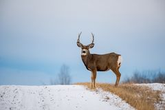 En Buck In Full Rut Fotografering för Bildbyråer