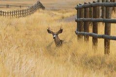 En Buck Resting i Autumn Grass fotografering för bildbyråer