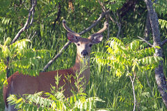 En Buck White Tail Deer Arkivfoton