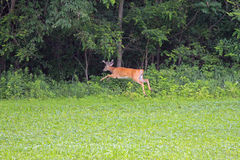 En Buck White Tail Deer Royaltyfri Fotografi