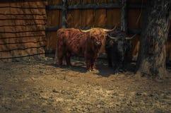 En buffel som ser in i kameran Arkivfoton