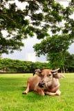 En buffel som sover på gräset med byggnadsbakgrund Royaltyfri Fotografi