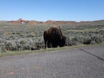 En buffel som strövar omkring i wyoming stock video