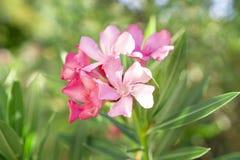 En bukett av älskvärda rosa kronblad av den doftande söta oleander eller Rose Bay som blommar på gröna blad fotografering för bildbyråer