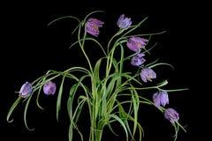 En bukett av blommor av friten för växt för Fritillary för huvud för orm` s Fotografering för Bildbyråer