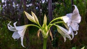 En bukett av blommor för madonnalilja arkivfoto