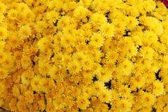 En bukett av den härliga krysantemumet blommar utomhus Krysantemum i trädgården Färgrik blommachrisanthemum yellow för modell för royaltyfri fotografi