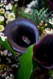 En bukett av den mörka adelsmannen cal med den frostade blomman blom- Arkivfoto