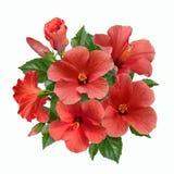 En bukett av den rosa hibiskusen blommar och slår ut Royaltyfria Foton