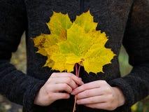 En bukett av gula lönnlöv rymmer vid kvinnliga händer royaltyfri foto