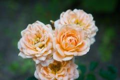 En bukett av härliga delikata rosor som växer på en Bush i en mörk ram arkivbilder