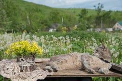 En bukett av härliga små gula blomstra blommor som kallas, våldtar i en kruka och en katt på en tabell under en grön äng i sommar royaltyfri bild