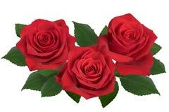 En bukett av röda rosor på en vit bakgrund royaltyfri fotografi