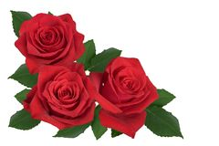 En bukett av röda rosor på en vit bakgrund arkivbild