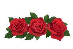 En bukett av röda rosor på en vit bakgrund royaltyfria bilder