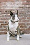 En Bull terrier hund sitter framme av en tegelstenvägg arkivfoton